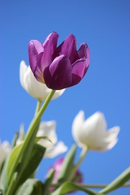 tulips-177889_640.jpg