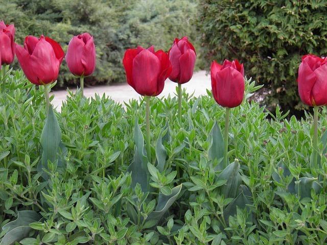 tulips-23056_640.jpg