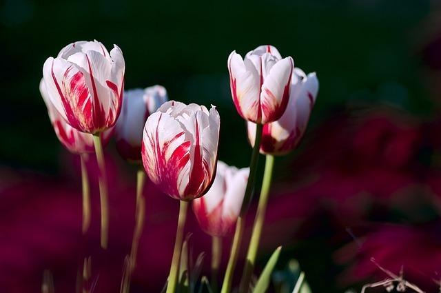 tulips-56423_640.jpg