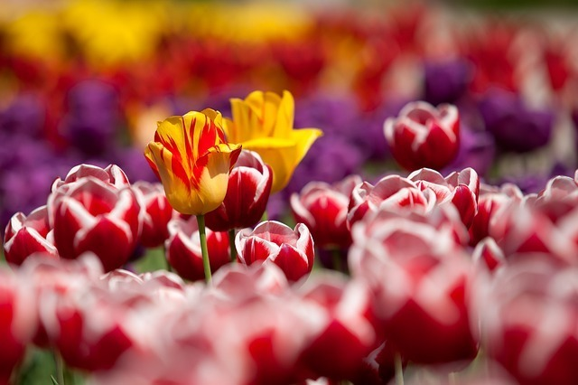 tulips-65305_640.jpg